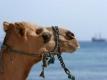 Monastir kamelen